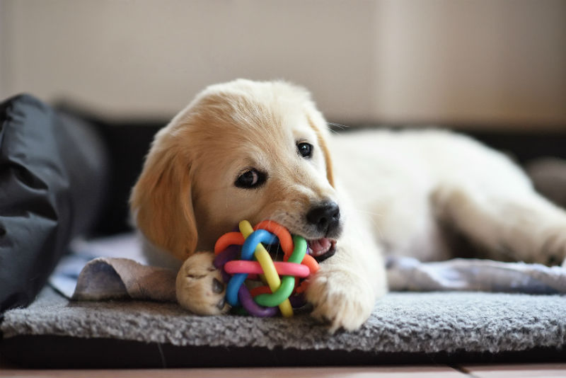 How Choose A Chew Toy For Your Dog